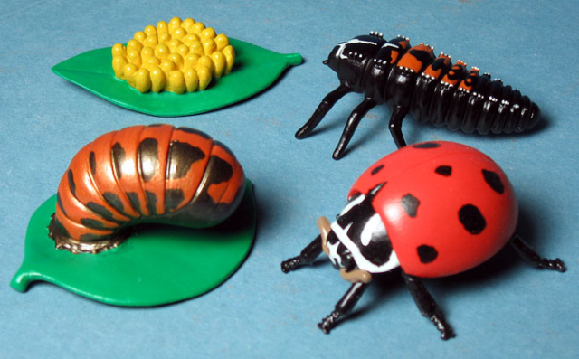 Ladybug life cycle for Insect Lore - eggs, larvae, pupae, adult